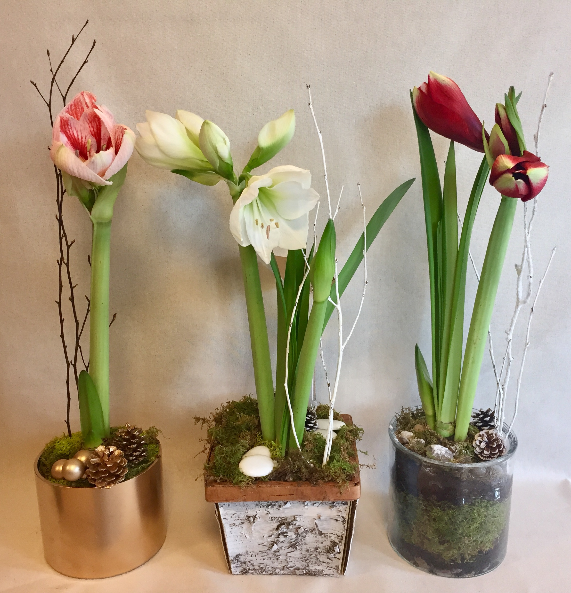 Amaryllis: care and cultivation at home 99